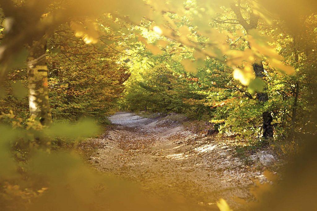 Chemin de promenade au milieu des arbres de la forêt du Ventoux ayant revêtu leur couleur dorée.