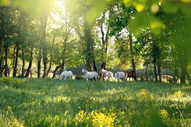 Plusieurs chevaux gris et bais photographiés côte à côte au fond de leur pré. Les chevaux qui vivent naturellement en groupe font partie des animaux bien connus pour leur instinct grégaire.